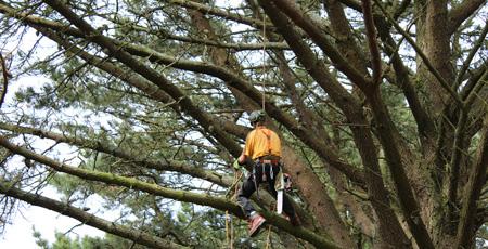 Élagage d'un séquoia
