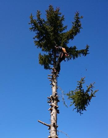 Photo d'un élagueur qui tronçonne la cime d'un arbre pour son abattage