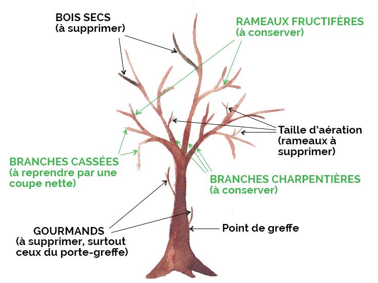 Dessin d'un arbre avec des consignes pour une taille raisonnée